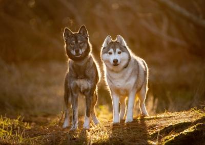 Aayla_hunter_husky_forest