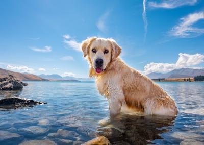 Archie_golden retriever_lake tekapo