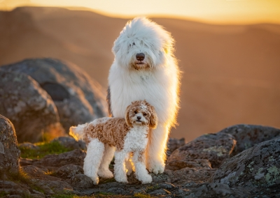 Bear_Bowie_cavoodle_ole english sheepdog_port hills
