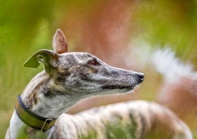 Bo_greyhound_ferns
