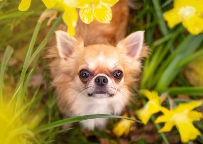 Bobby_chihuahua_spring daffodils
