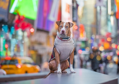 Cleo_American Pitbull terrier_times square_New York