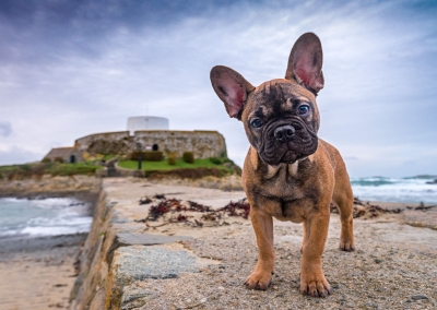 George_french bulldog_fort grey_guernsey