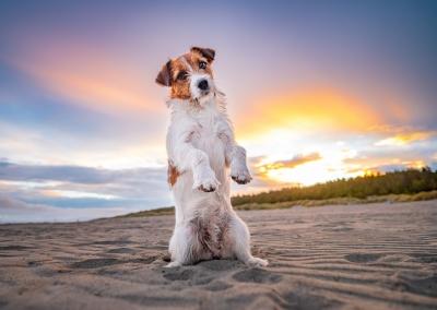 Gin_jack russell terrier_beach_beg