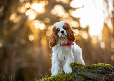 Gracie_cavalier king charles spanial_forest