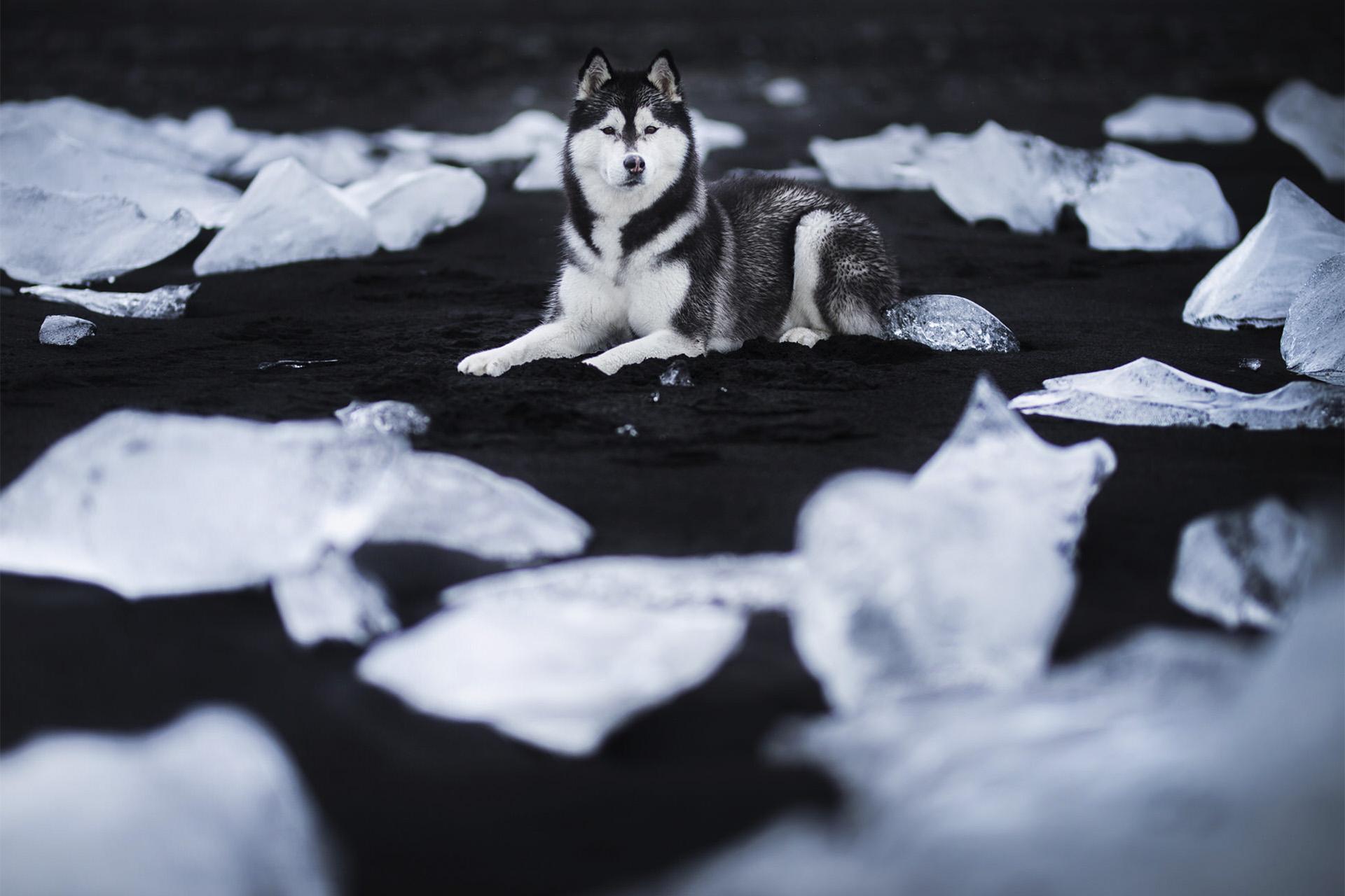 Husky_Ice