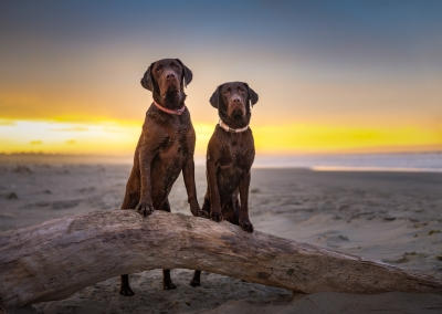 Luther_Murphy_chocolate Labrador_beach
