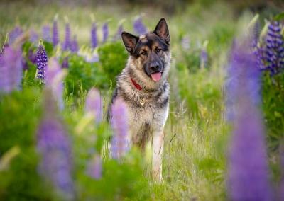 Milo_german Shepherd_lupin field