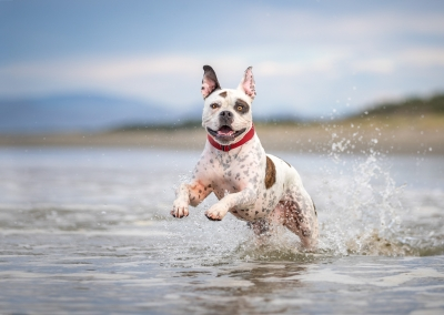 Sherman_mixed breed_beach_water