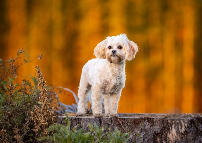 Snips_Lhasa Apso_forest