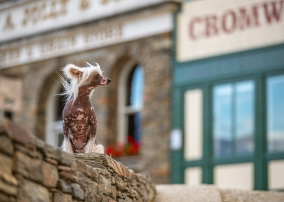 Starlet_Chinese crested hairless_cromwell
