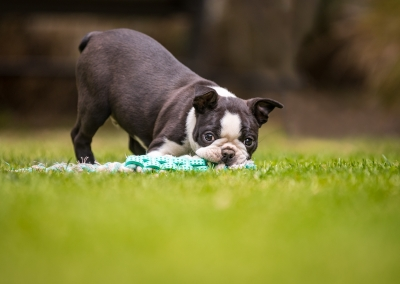 boston terrier puppy playing in the garden