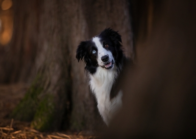 Ava_border collie_forest