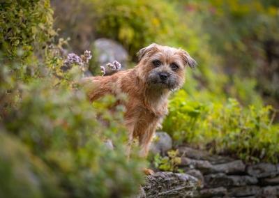Bailey_Border_terrier_garden