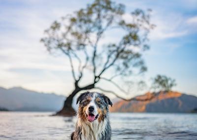 Barney_border collie_wanaka tree