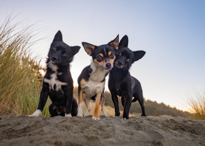 Bentley_Frankie_Ruby_Chihuahua_beach dunes