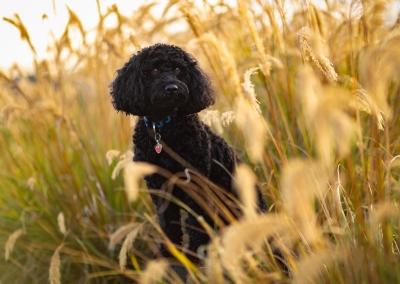 Bruno_Poodle cross_grass park