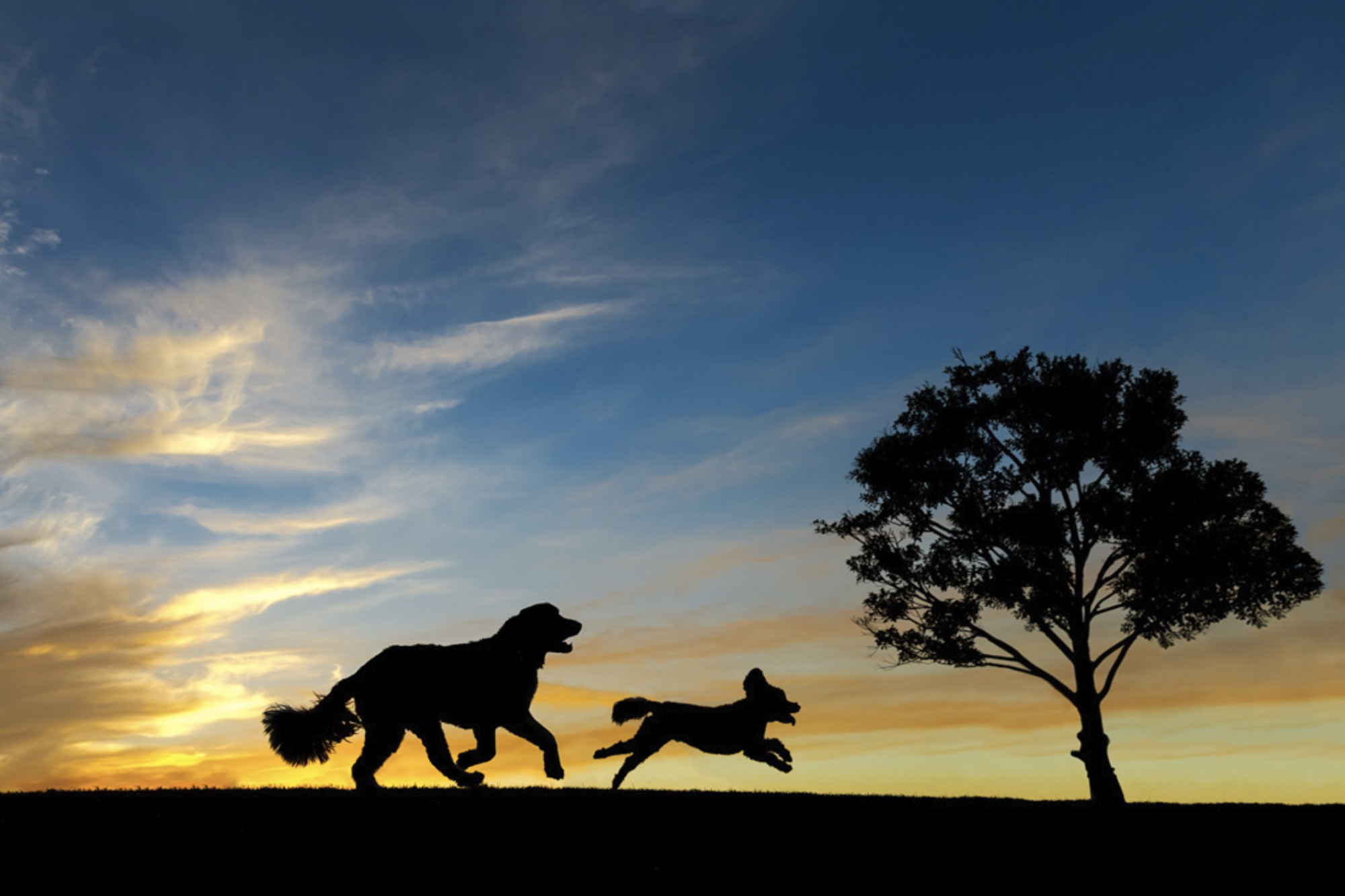 Charlotte-sunset-silhouette-retriever-poodle