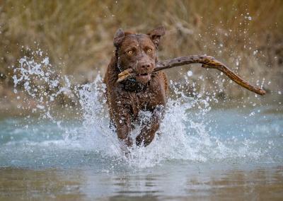 Clive_labrador_river_water