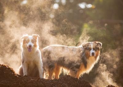 Fletcher_Opal_australian shepherd_park_mist