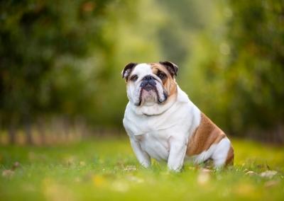 Holly_british bulldog_apple orchard