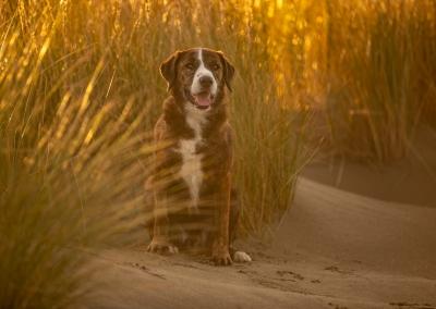 Leroy_rescue dog_mixed breed_beach_dune_sunset_golden