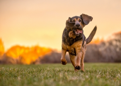 Lily_bloodhound_running_park
