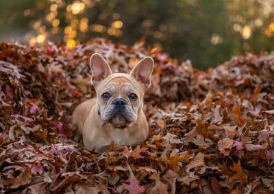 Minnie_french Bulldog_autumn leaves