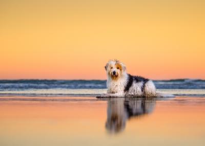 Molly_Bearded Collie cross_beach_sunset reflection