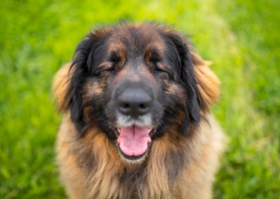 a very happy leonberger