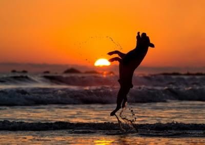 Romeo_boston terrier_beash sunset_costa Rica