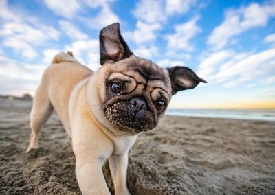 Sage_pug_digging_beach
