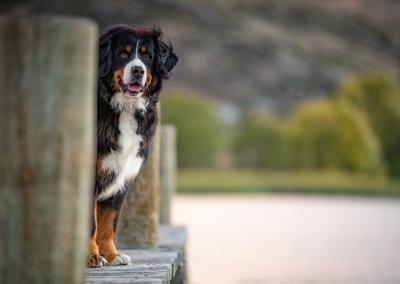 Saphy_bernese Mountain Dog_wharf_lake