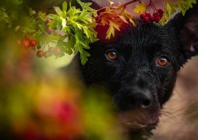 Willow_black shepherd_berries