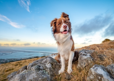 Woody_border Collie_hills