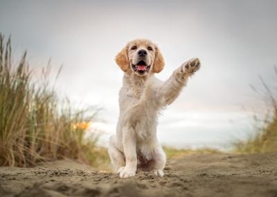 Zuko_golden retriever_puppy_beach