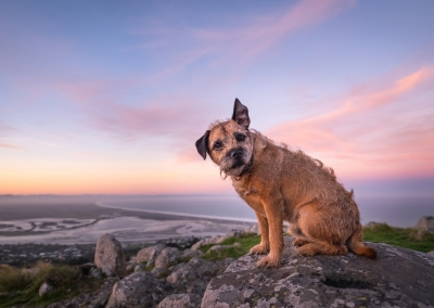 oscar_border terrier_hills